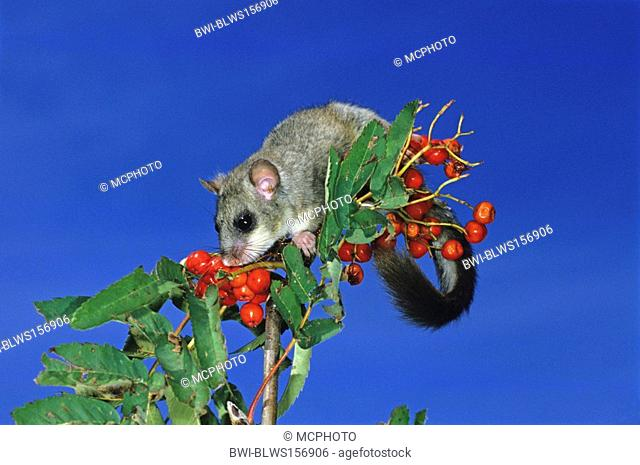 edible dormouse, edible commoner dormouse, fat dormouse, squirrel-tailed dormouse Glis glis, on twig with red fruits, Germany, Baden-Wuerttemberg