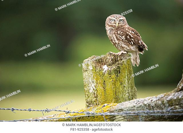 Little Owl Athene noctua adult perched on post in farmland habitat captive-bred  Wales, July 2009