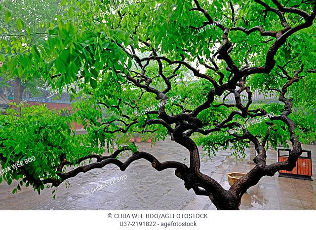 Tree. Daxiangguo temple, Kaifeng, Henan Province, China