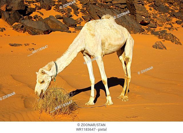 Dromedary feeding on a meagre desert vegetation