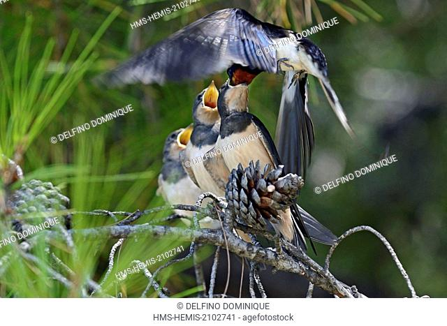 Croatia, Island Brac, Barn Swallow (Hirundo rustica), feeding young on a pine branch after leaving the nest