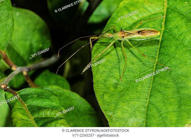Assassin Bug (Zelus luridus) Hunting on Persimmon (Diospyros virginiana) Leaf