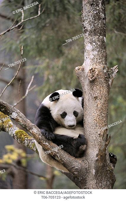 Giant panda sleeping in a tree (Ailuropoda melanoleuca) Wolong Nature Reserve, China