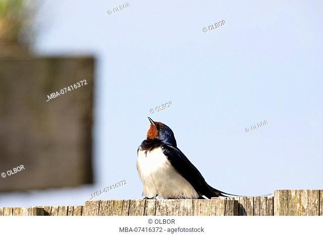Barn Swallow, Hirundo rustica, sits on fence