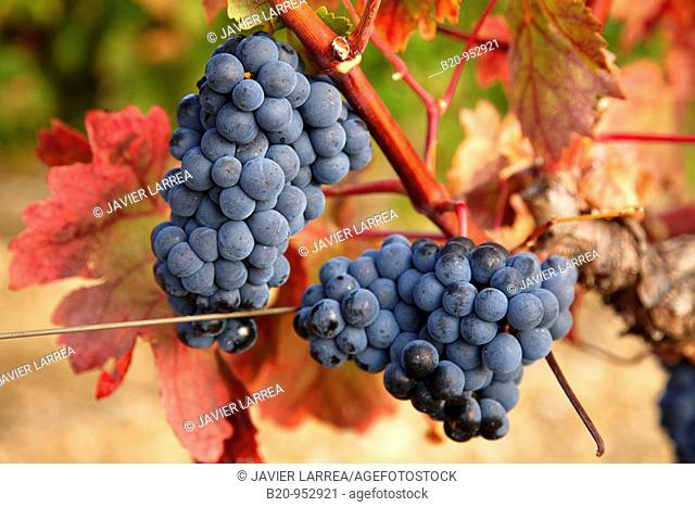 Grenache grapes, vineyards, Laguardia, Rioja Alavesa, Araba, Basque Country, Spain
