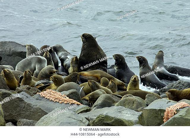 Northern Fur Seal, seal, animal, colony, coast, sea, Callorhinus ursinus, largest seal rookery in the world, St. Paul