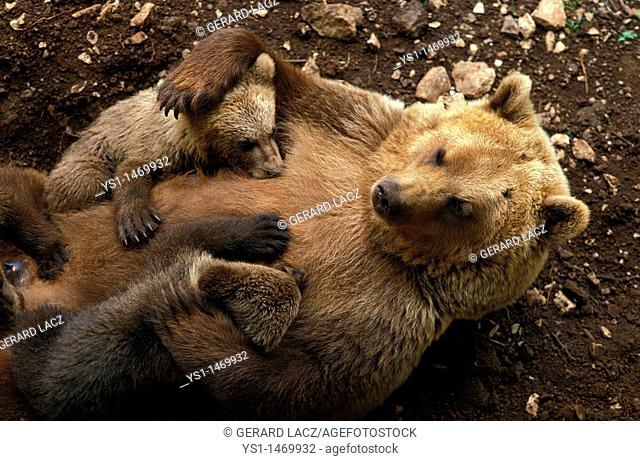 Brown Bear, ursus arctos, Female with cub suckling