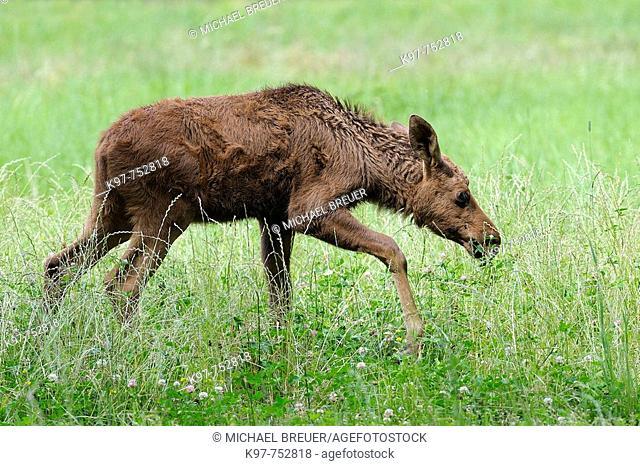 Young european moose (Alces alces), Smaland, Sweden, Scandinavia