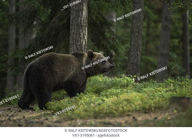 European Brown Bear (Ursus arctos), young animal, strolling through the woods, smelling, excellent olfaction