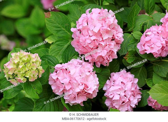 Hydrangea bush, shrub, flower, hydrangea