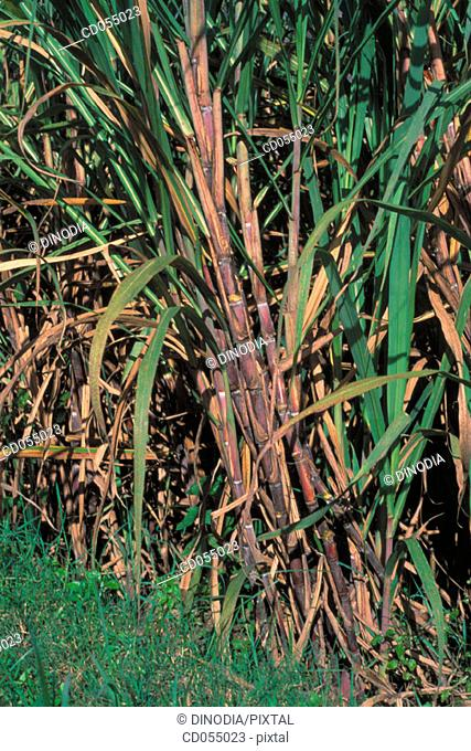 Sugar cane. Karnataka. India