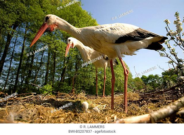 white stork (Ciconia ciconia), couple with chick on the nest, Germany, North Rhine-Westphalia