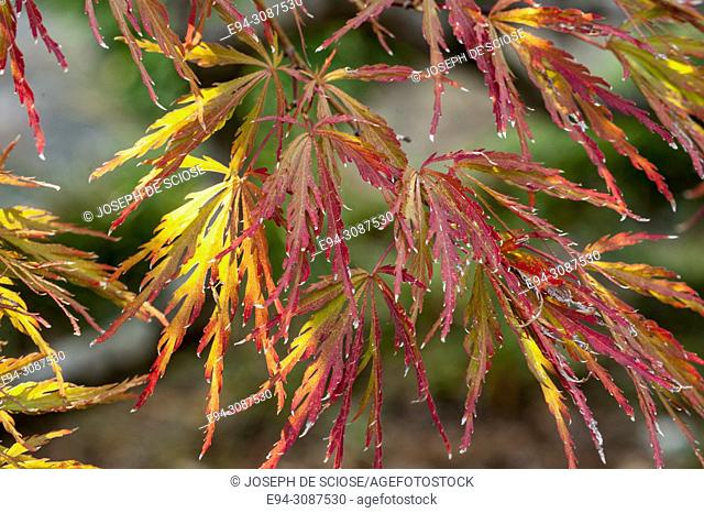 Close-up of Japanese maple leaves in fall color
