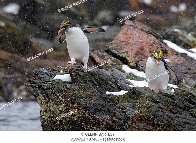 Macaroni Penguin (Eudyptes chrysolophus) perched on a rocky beach on South Georgia Island