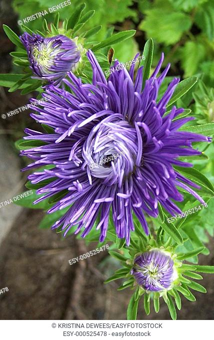 A purple aster blooming as well as two buds in the process of unfurling