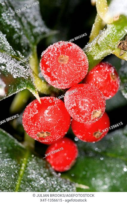 frost on red holly berries