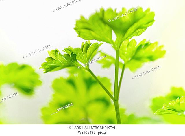 Close-up of Parsley