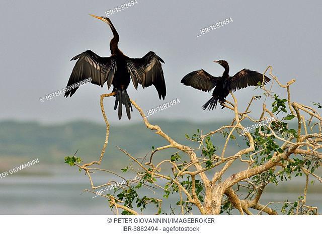 Oriental Darter or Indian Darter (Anhinga melanogaster) and a Little Cormorant (Phalacrocorax niger), Bundala National Park, Southern Province, Sri Lanka