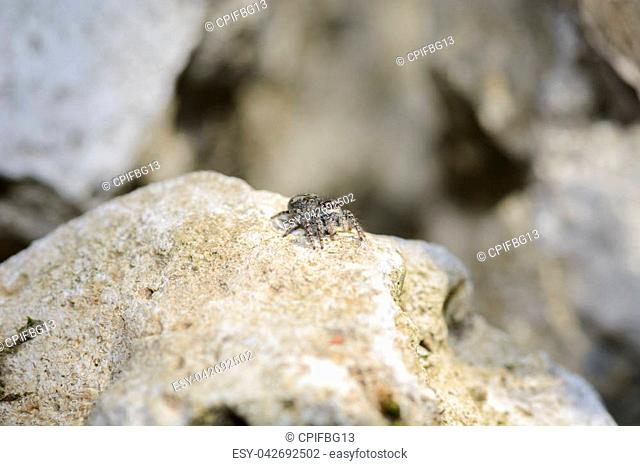 Small jumping spider on a white rock waiting