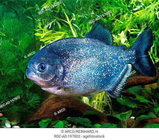 Yellow King Piranha, Serrasalmus ternetzi, side