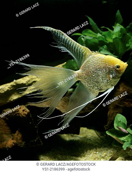 Diamond Angelfish, pterophyllum scalare