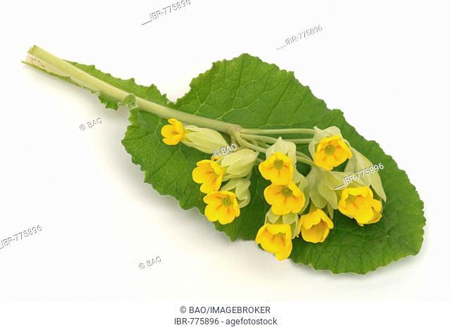 Primrose (Primula veris), medicinal plant