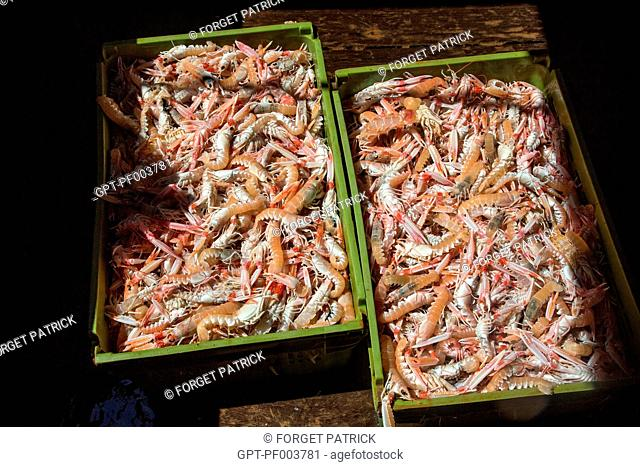 CRATES OF FRESHLY CAUGHT LIVE PRAWNS, SEA FISHING ON THE SHRIMP TRAWLER 'QUENTIN-GREGOIRE' OFF THE COAST OF SABLES-D'OLONNE (85), FRANCE