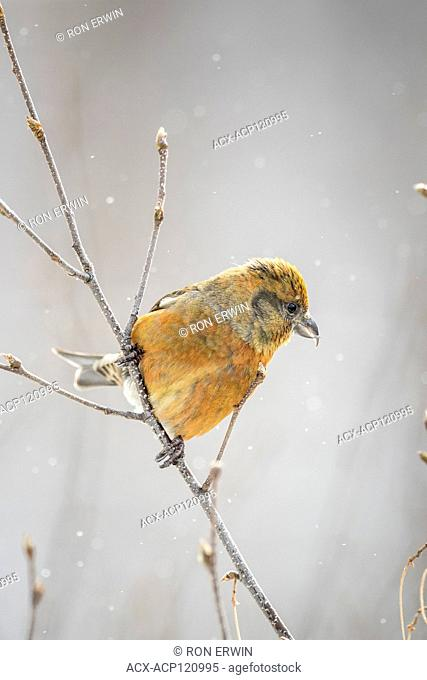 Male Red Crossbill (Loxia curvirostra), Algonquin Provincial Park, Ontario, Canada