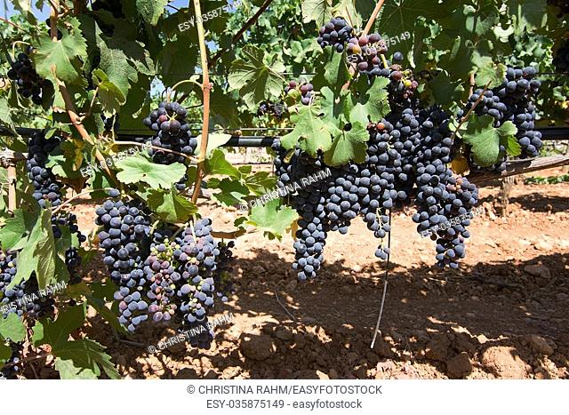 Grapes ripening on stock in a Mallorca vineyard on a sunny day in Mallorca, Spain