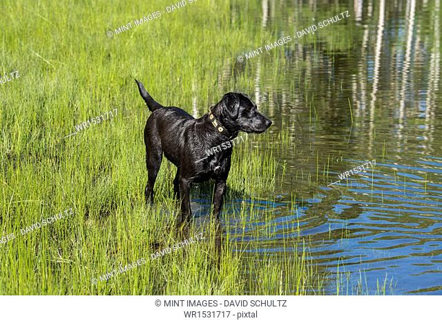 A black Labrador dog on the edge of standing water