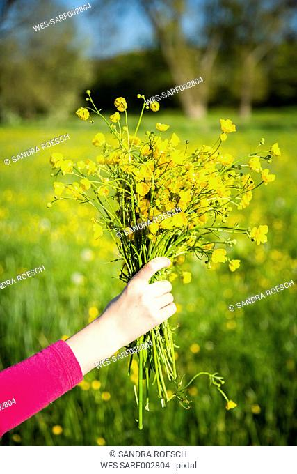 Girl's hand holding bunch of buttercups