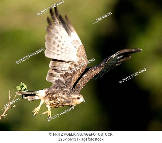 Snail kite (Rostrhamus sociabilis). Pantanal, the world largest wetland, Brazil, South America