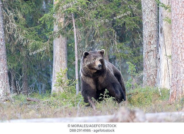 Europe, Finland, Kuhmo area, Kajaani, Brown bear (Ursus arctos horribilis), adult male
