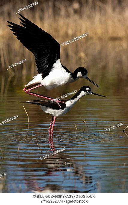 Black-necked Stilts Mating - Camp Lula Sams - Brownsville, Texas USA