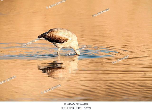 Side view of juvenile greater flamingo, head underneath water, San Pedro del Pinatar, Murcia region, Spain
