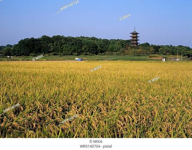 Rice Field and Five Story Pagoda, Soja, Okayama, Japan