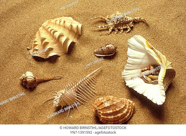Range of univallve shell types lying on the sand at the beach including simple conch,spider conch,cone,pecten scallop,helmet and spindle