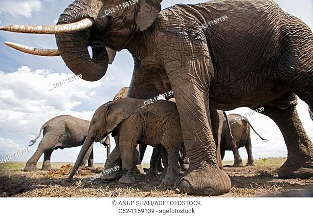 African elephant baby (Loxodonta africana) sheltering under mother's belly -wide angle perspective-, Maasai Mara National Reserve, Kenya