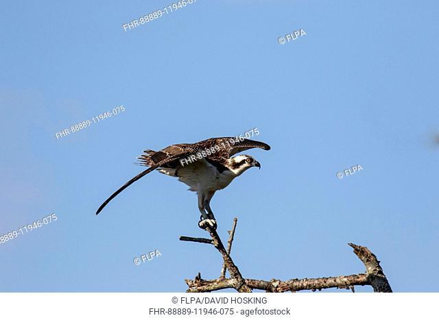 Osprey alighting on branch - Cape May, East Coast USA