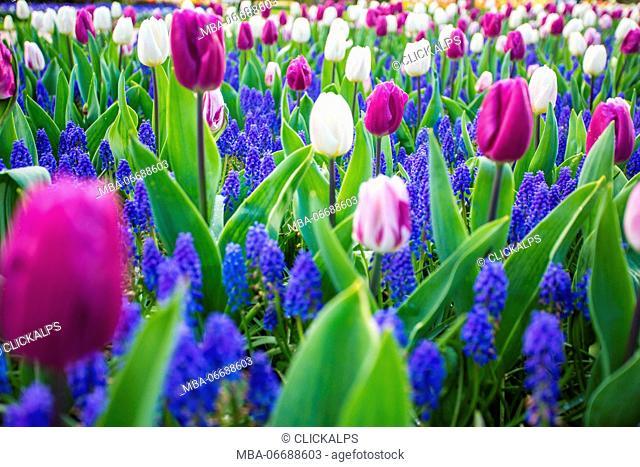 Tulips and flowers at Keukenhof gardens, Lisse, Netherlands
