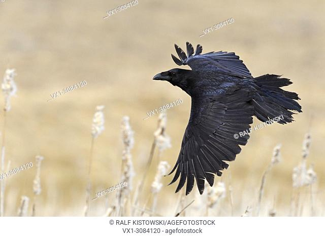 Huge Common Raven (Corvus corax) in flight, flies over a swamp with nice creme colored reed, wildlife, Europe