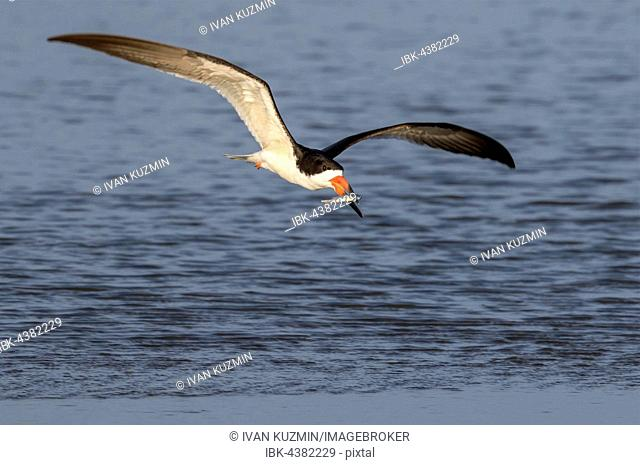 Black skimmer (Rynchops niger) flying with a caught fish over the ocean, Galveston, Texas, USA