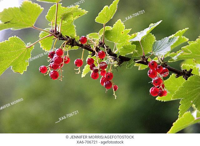 Red currants growing on a branch, slightly back-lit