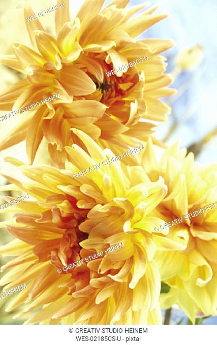 Dahlias, Dahlia variabilis