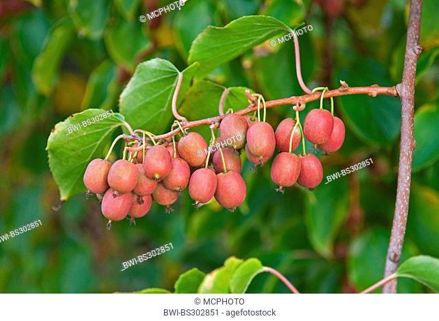 Tara Vine, Bower Actinidia, Mini Kiwi (Actinidia arguta 'Ken's Red', Actinidia arguta Ken's Red), cultivar Ken's Red, fruits