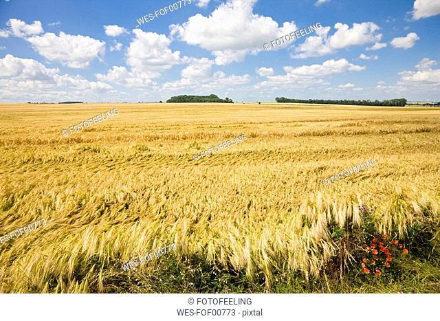Germany, Saxony-Anhalt, Rye field