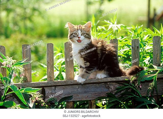kitten - sitting on fence restrictions: Tierratgeber-Bücher / animal guidebooks, puzzles worldwide, mobile phone content worldwide