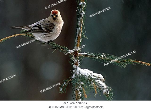 Common Redpolls in Spruce Tree During Snowstorm IN AK Winter
