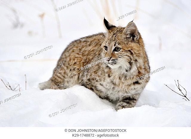 Bobcat Lynx rufus Kitten first winter, Bozeman, Montana, USA