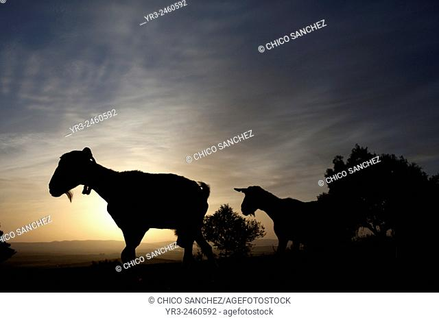 A herd of goats walk at sunset in Prado del Rey, Sierra de Cadiz, Andalusia, Spain